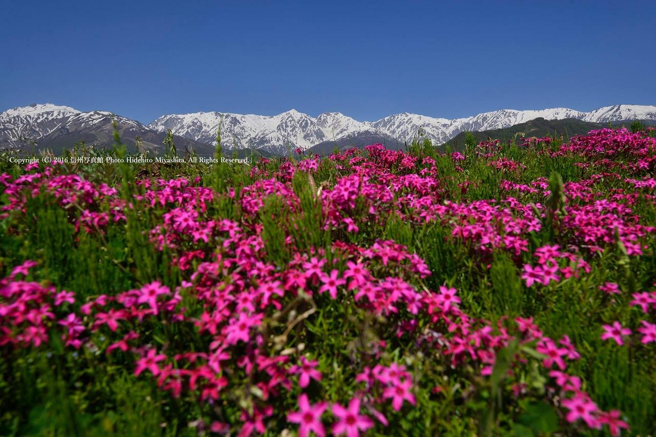白馬三山の麓に芝桜咲いて