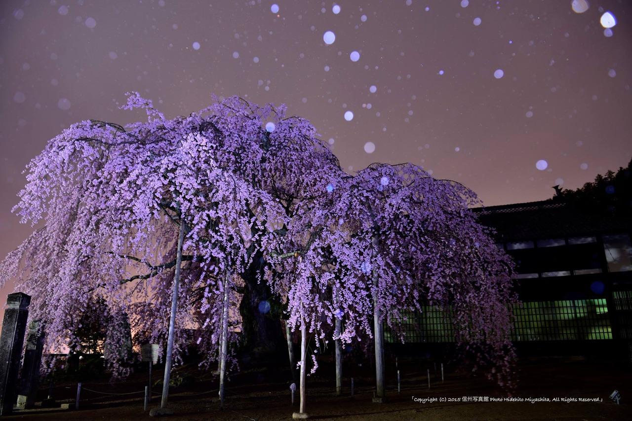 舞台桜に降る雨