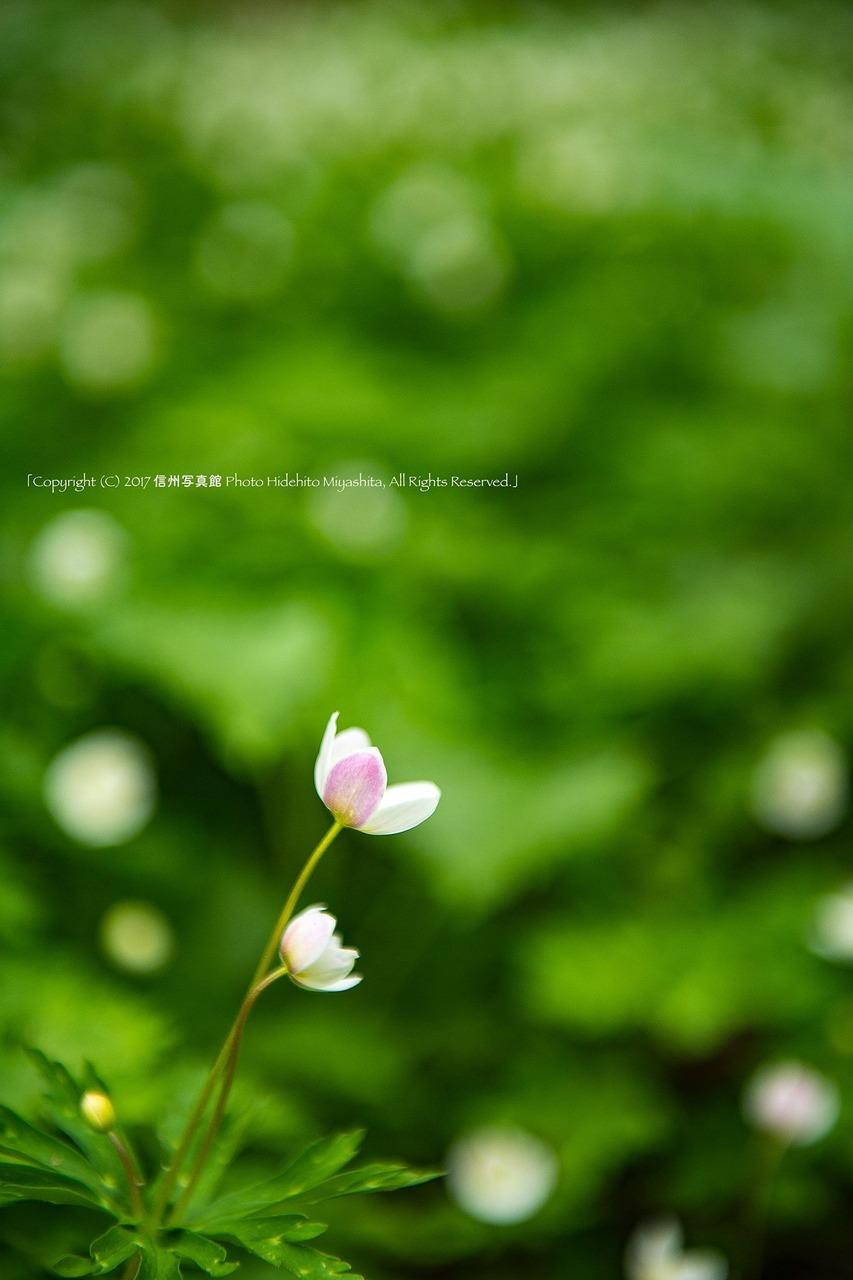 ピンク色の花弁