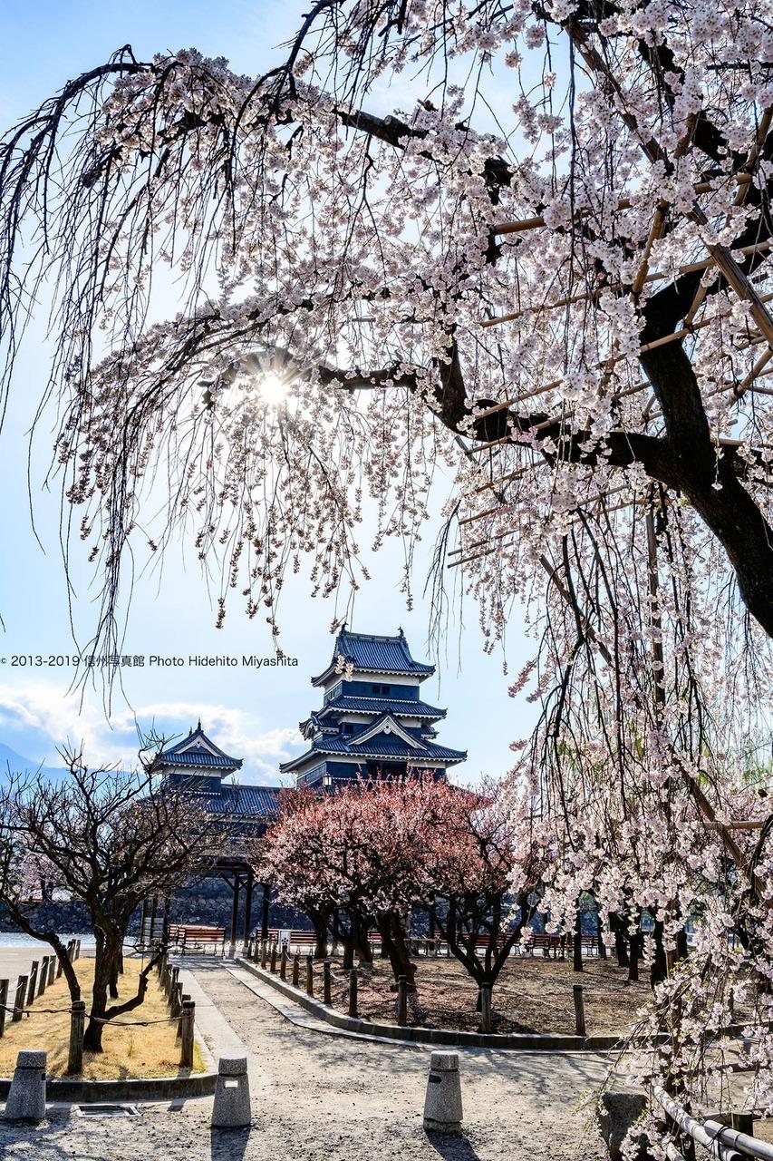春の松本城…