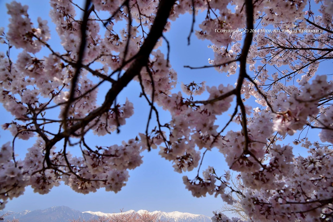 満開の桜と中央アルプス