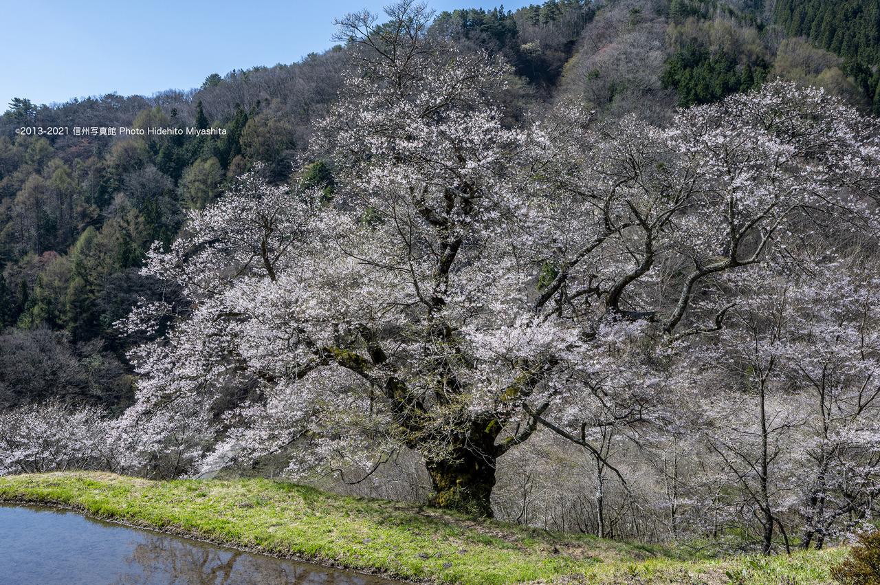 駒つなぎの桜_20210409-_DSC5558