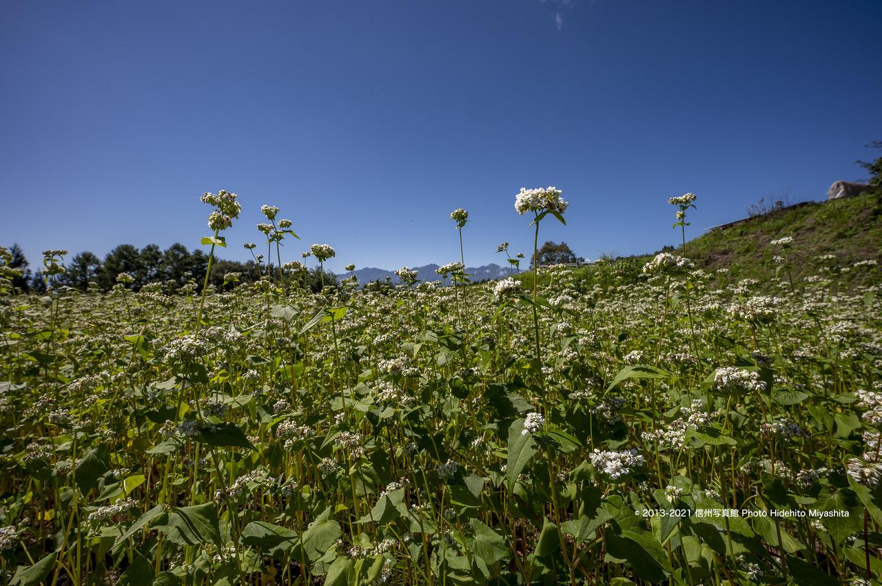 蕎麦の花と仁科三山20210919-_DSC8920