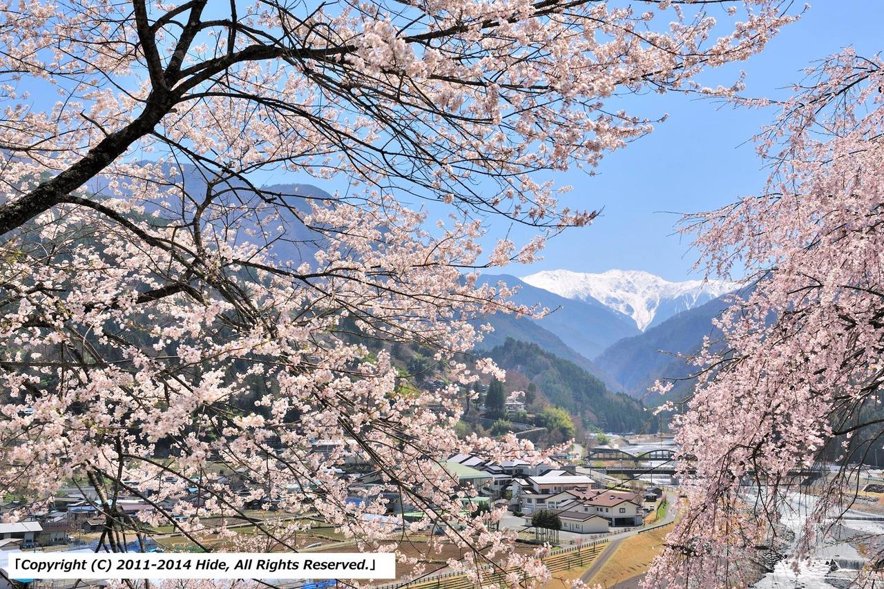 復興の桜と赤石岳