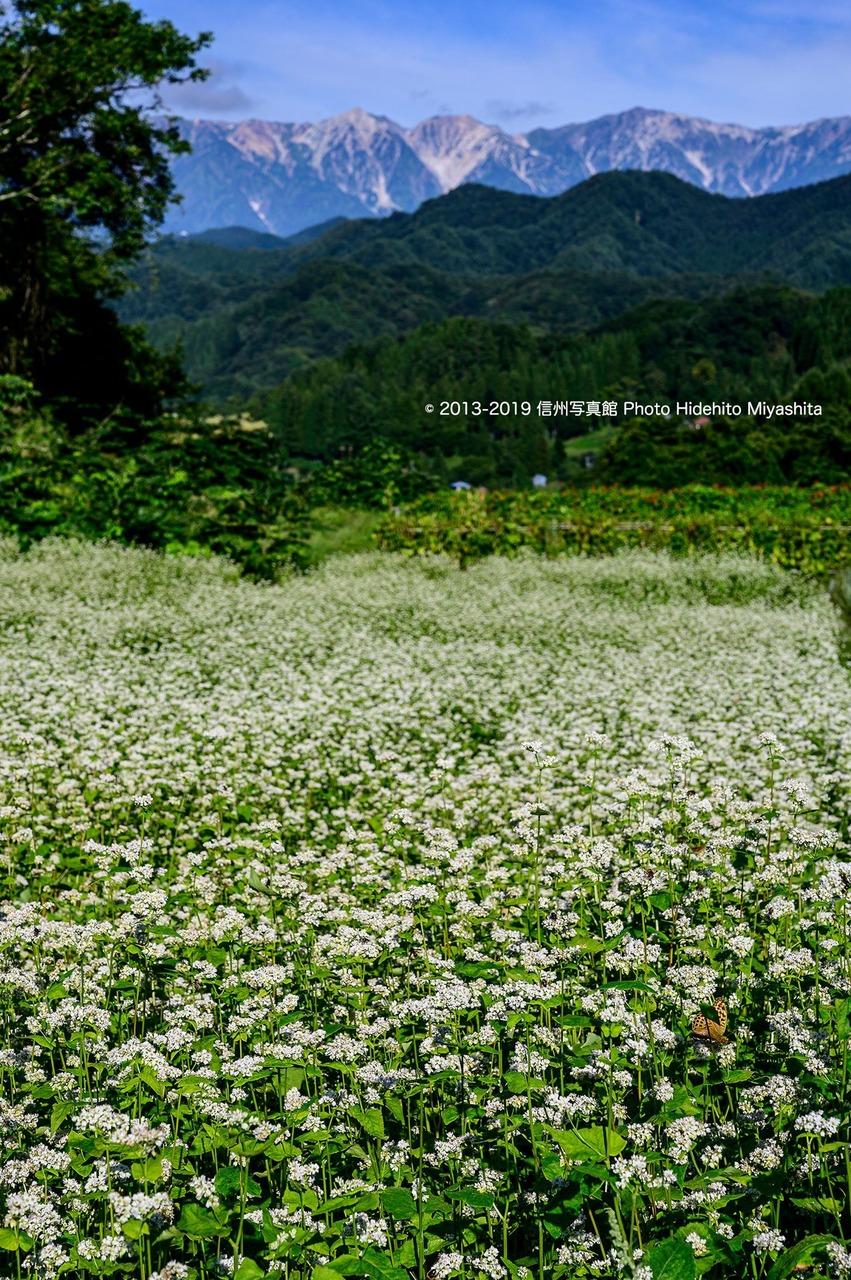 蕎麦の花咲く頃