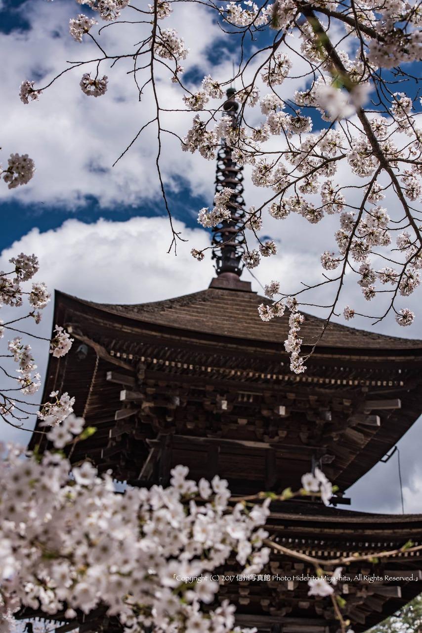 未完成の完成の塔と桜