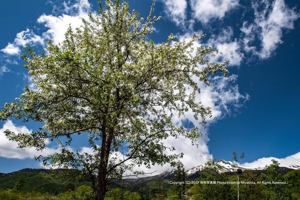小梨咲く高原