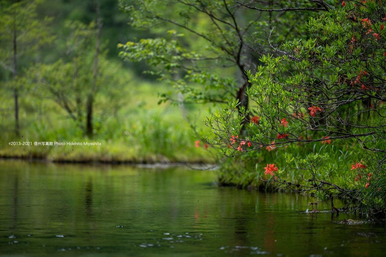 田代池に咲く