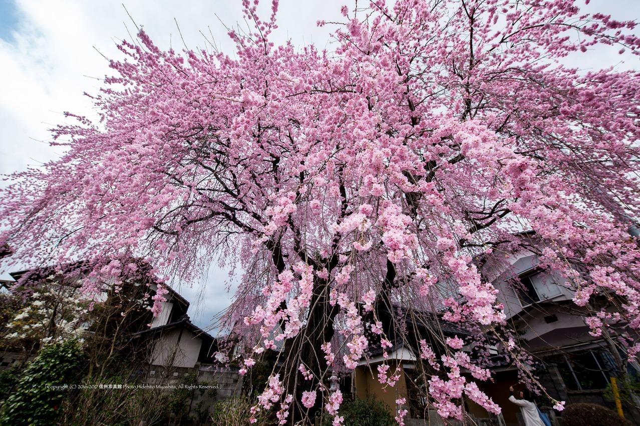 黄梅院のしだれ桜  2016