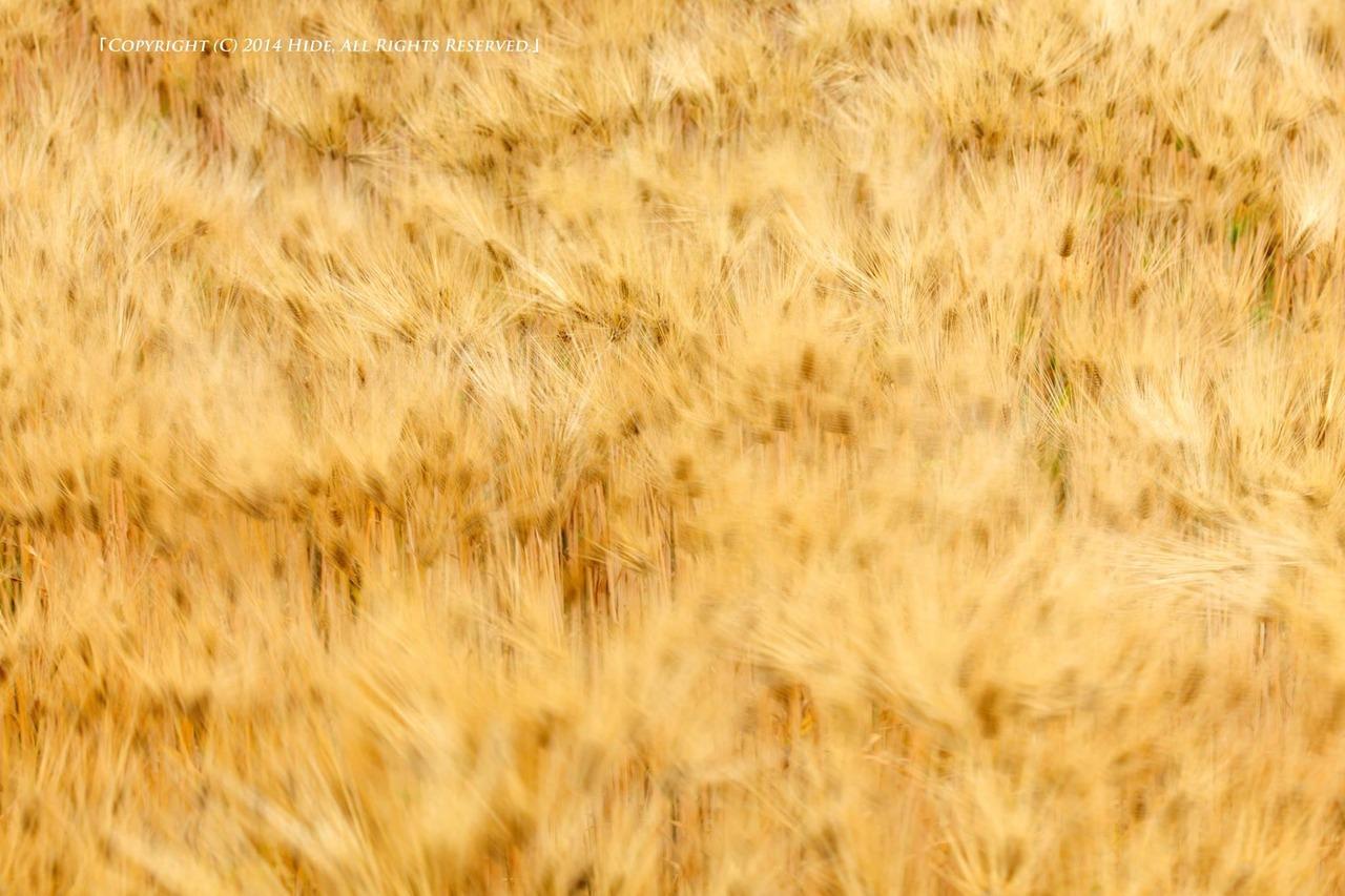 麦畑を渡る風