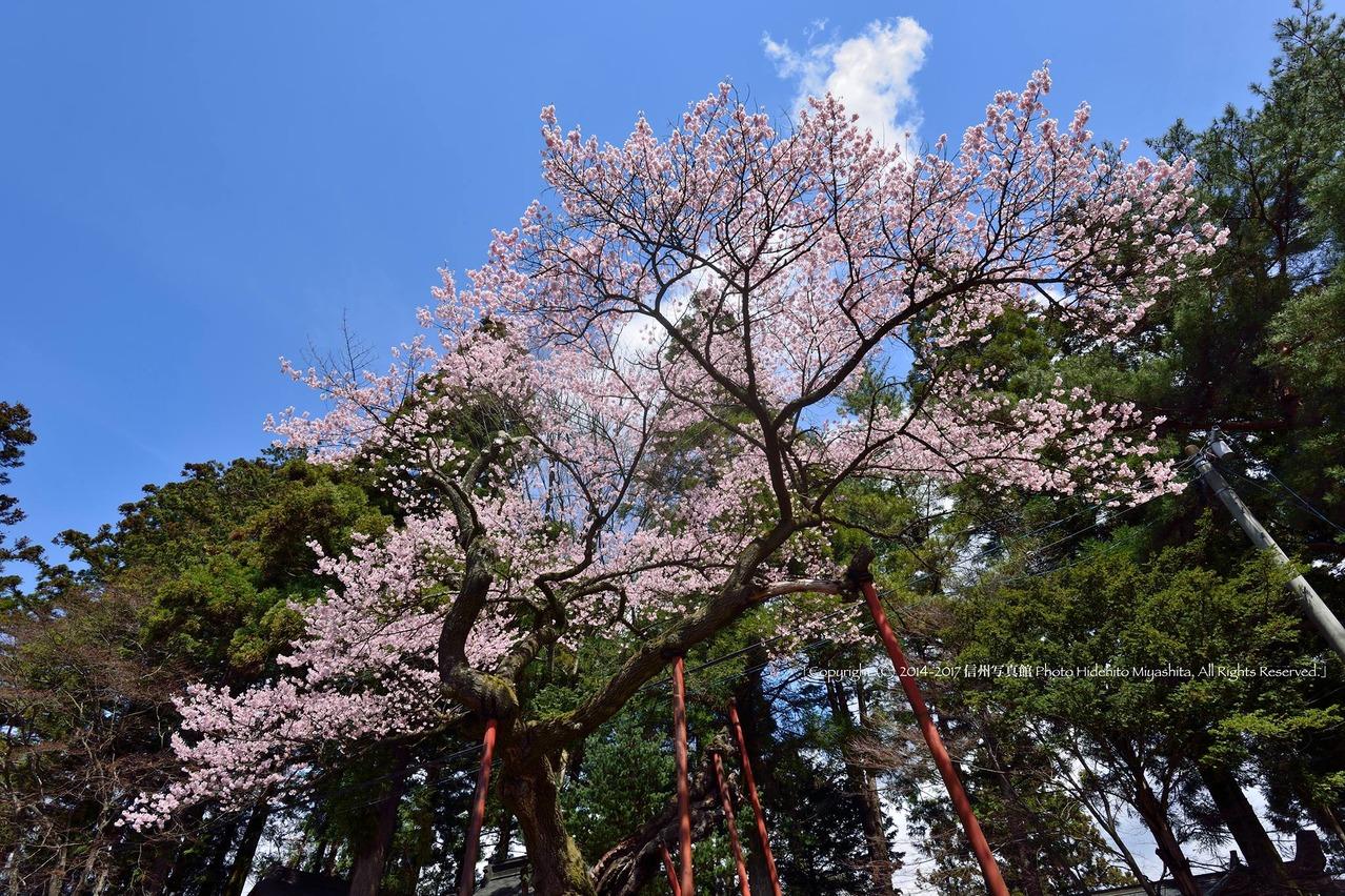 清秀桜  2014