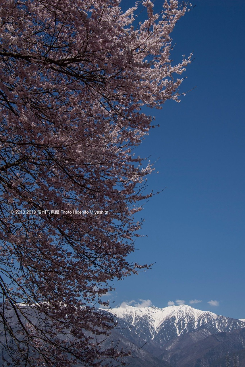 桜と宝剣岳