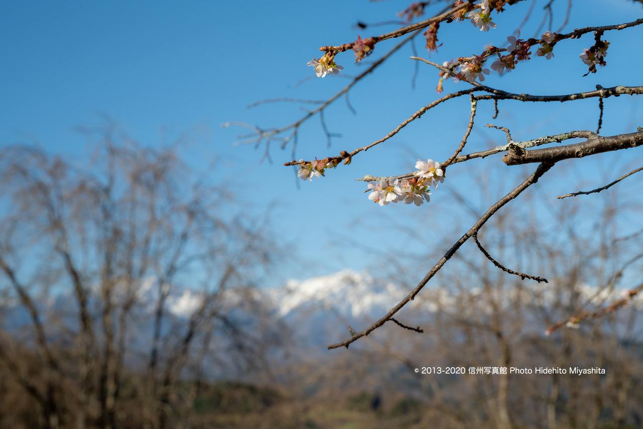 冬に咲く_20201122-_DSC2727