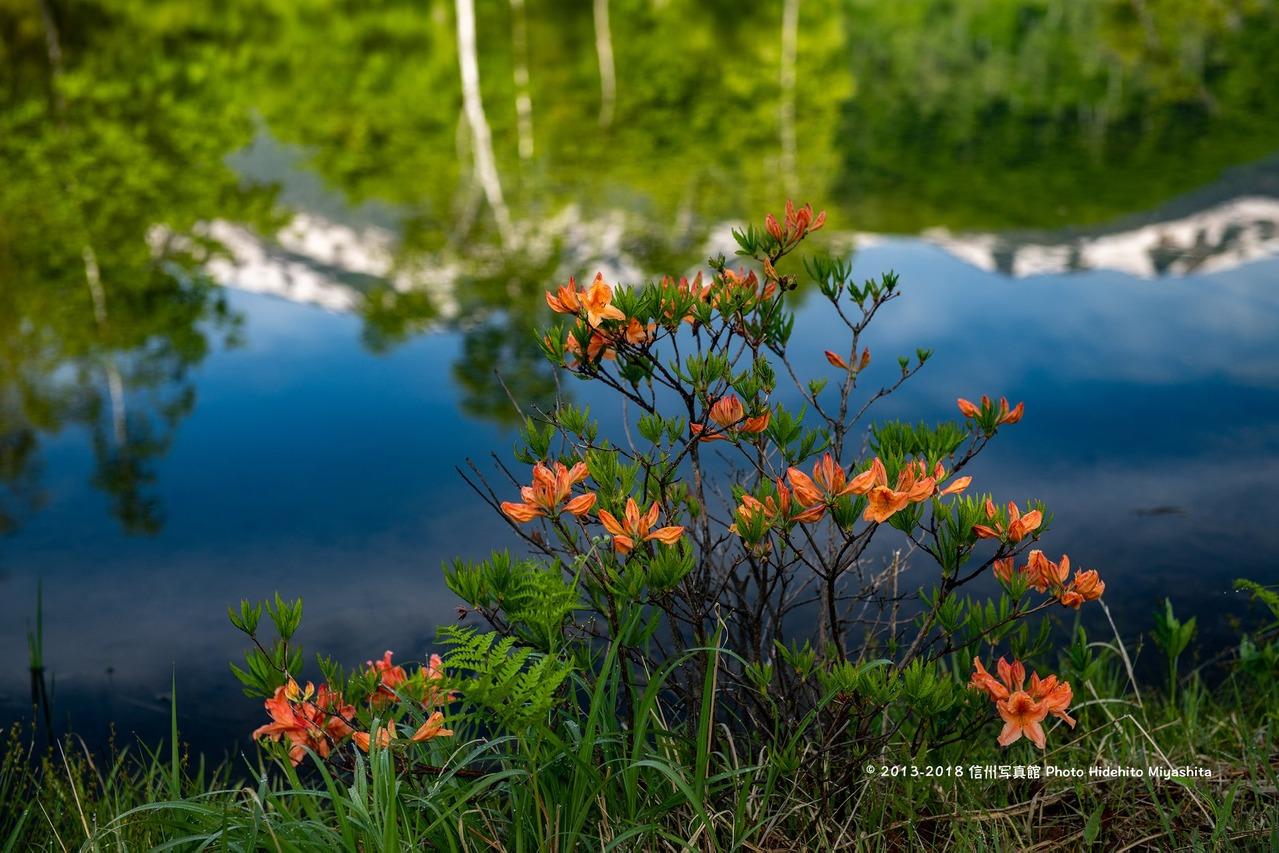 まいめの池に咲く