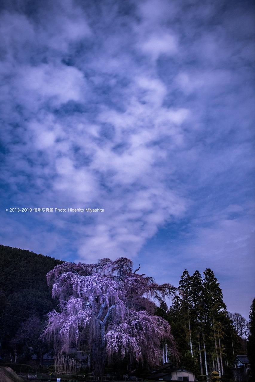 しだれ桜 夜景