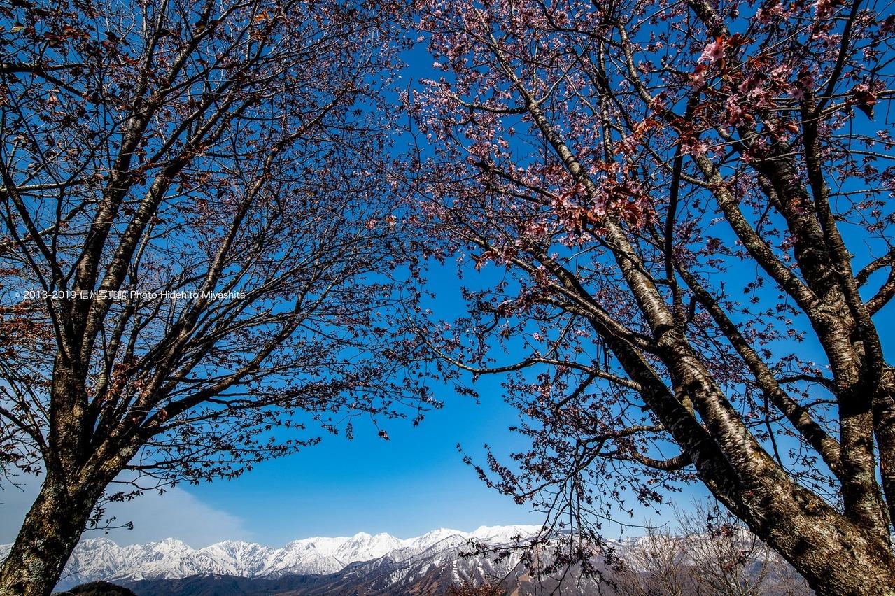 桜と白馬三山0
