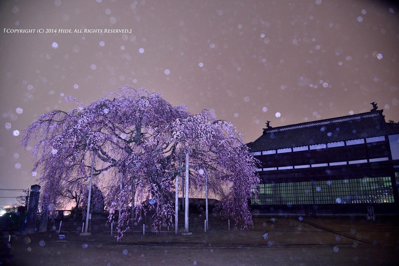 夜の舞台桜