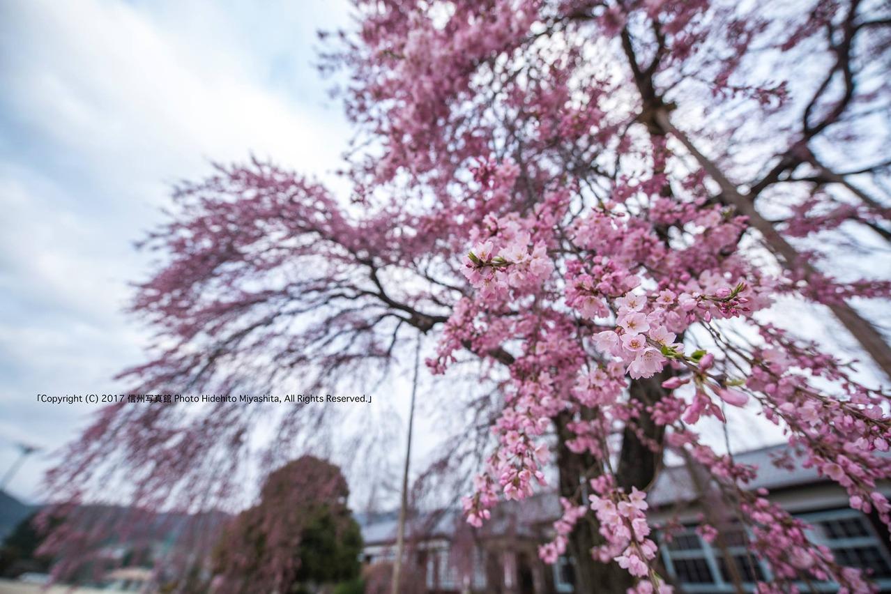 杵原学校のしだれ桜 2016