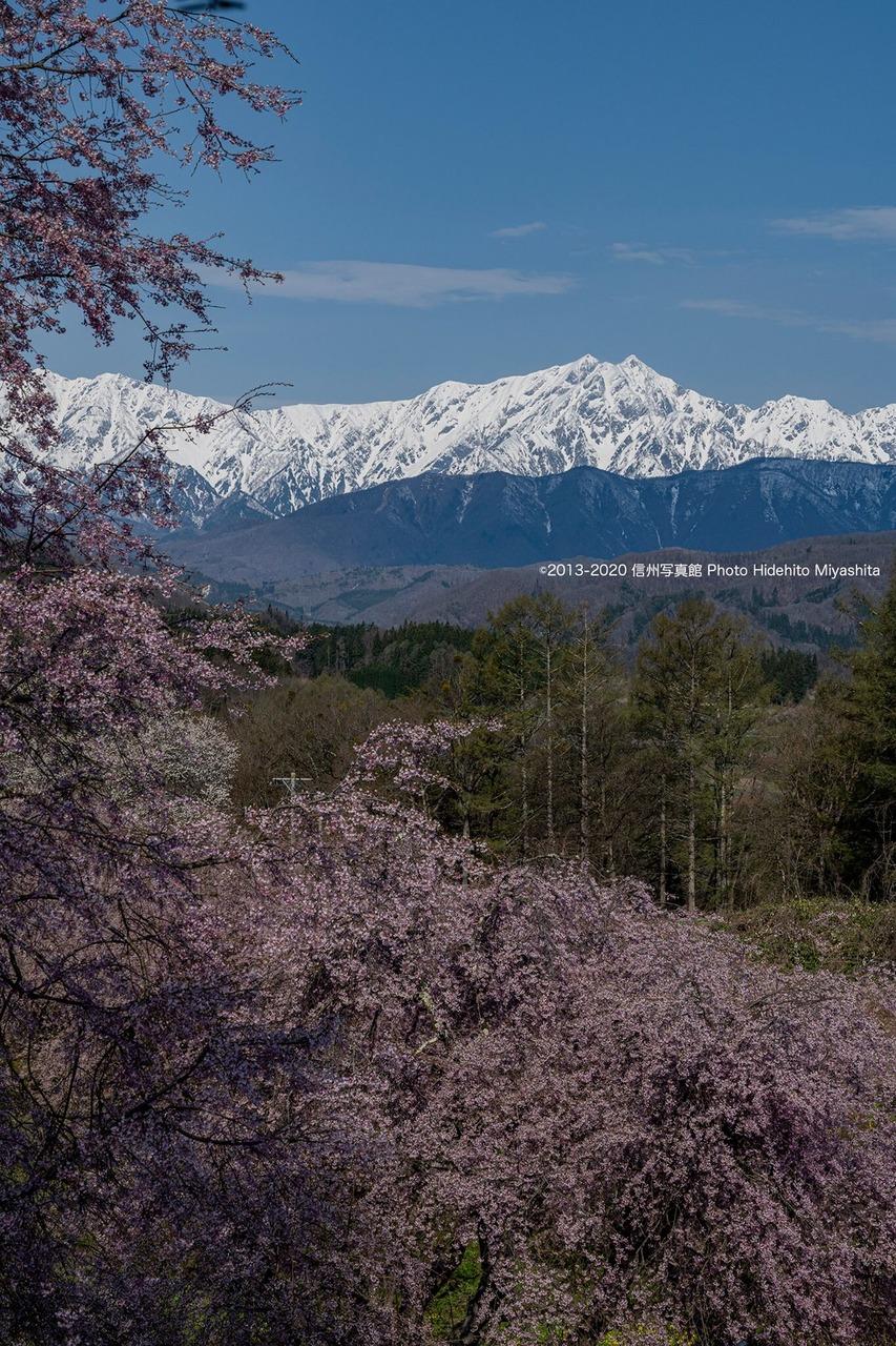 桜と鹿島槍ヶ岳
