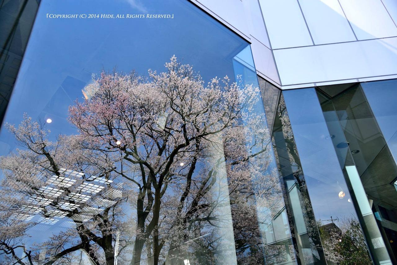 窓の中の桜