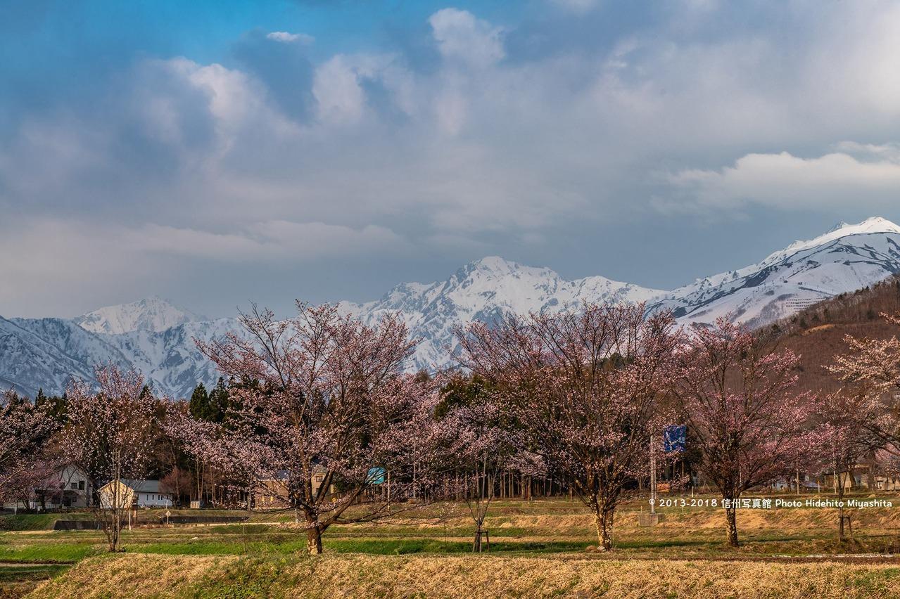 桜と五竜岳