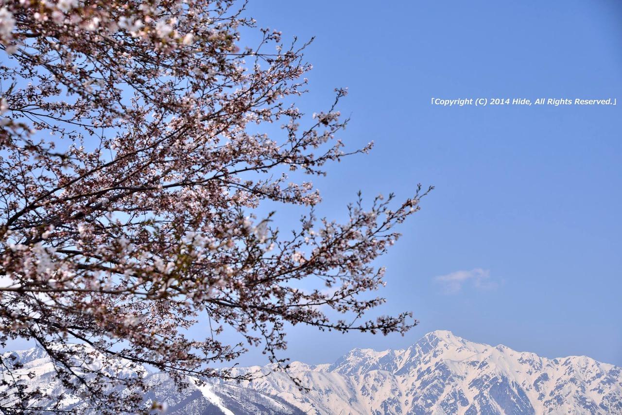 桜と武田菱