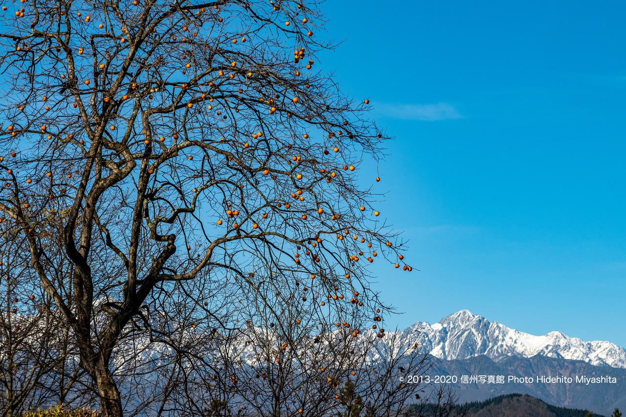 柿と五竜岳_20201122-_DSC2698