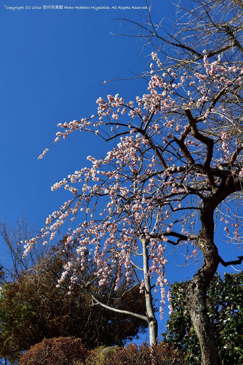 枝垂れ梅咲いて