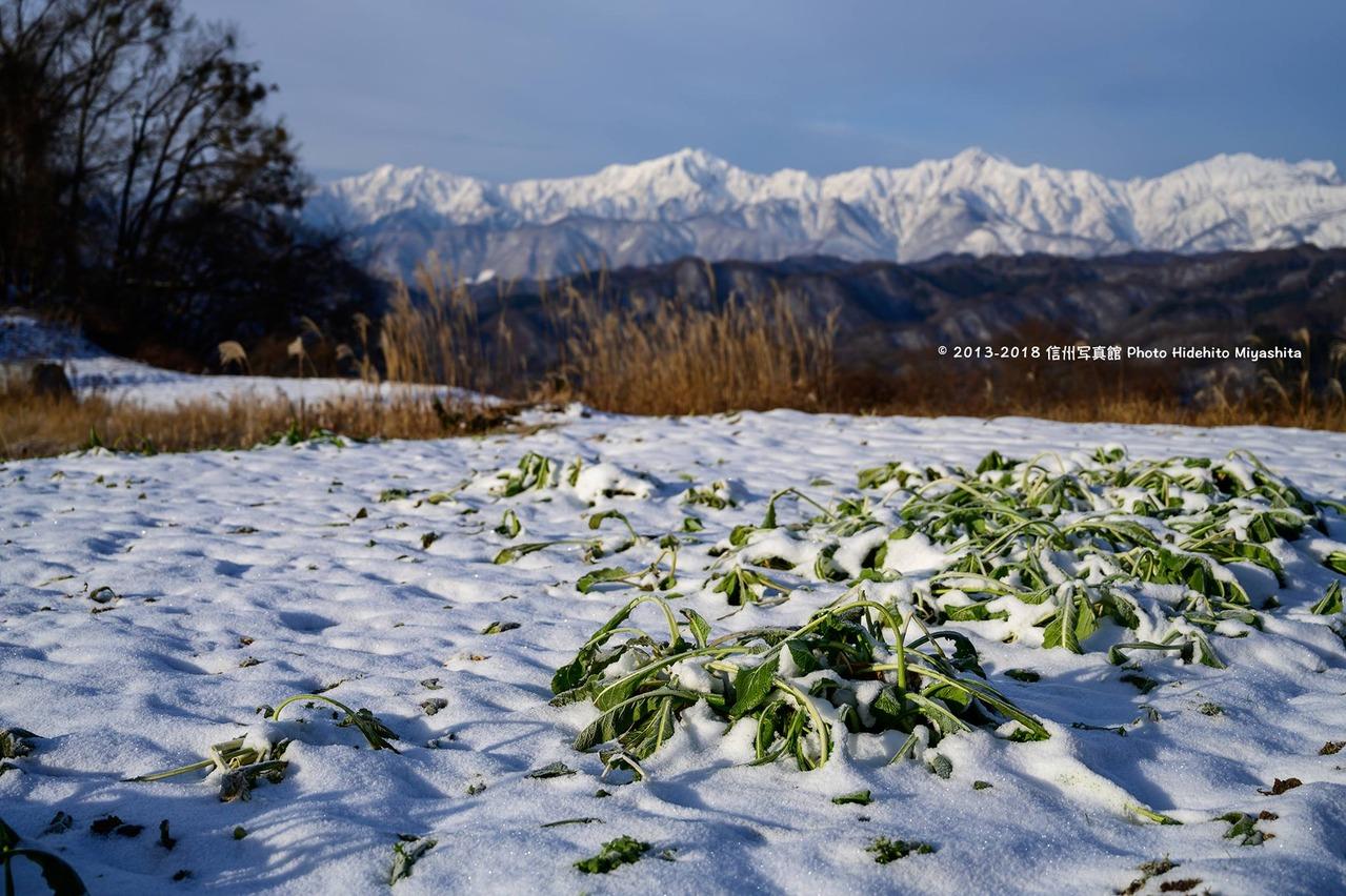 雪に埋もれた野沢菜