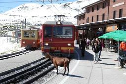 電車に寄るヤギ