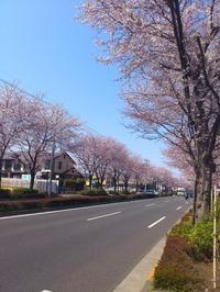 道路に並ぶ桜