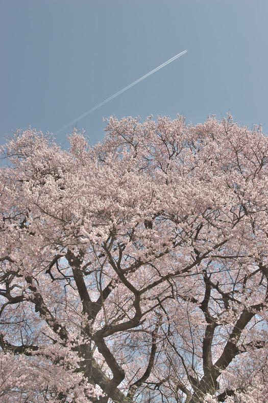 王仁塚の桜_5904