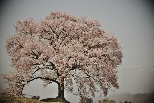 王仁塚の桜_5918