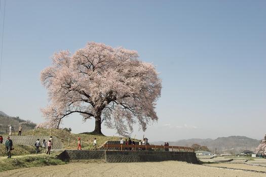 王仁塚の桜_5932