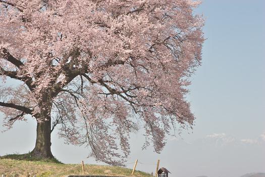 王仁塚の桜_5933