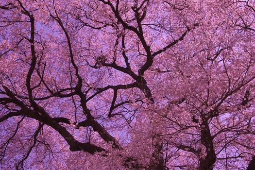 王仁塚の桜_5946