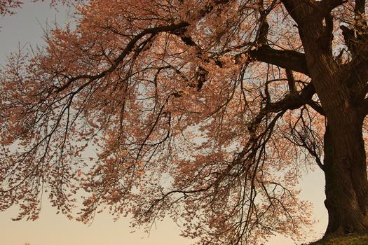 王仁塚の桜_5949