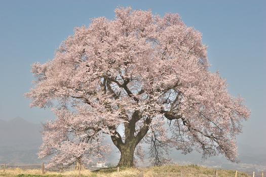 王仁塚の桜_6004
