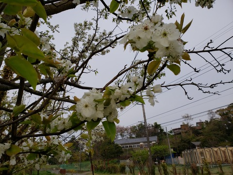 東大二宮果樹園跡地花便り~春に咲く花たち