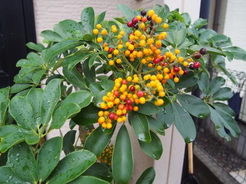 観葉植物ホンコンに綺麗な実