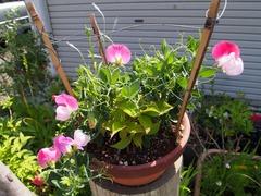まちなか❤ほっと処に次々花が咲いて花盛り。
