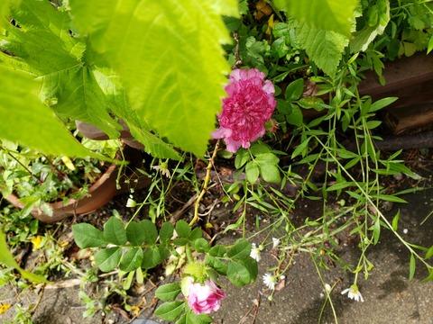 5/29まちなか♥️ほっと処に咲く花