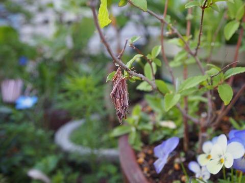 葉枯れ?蓑虫が食べちゃった。