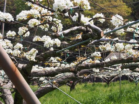 花の丘公園20150416 (35)