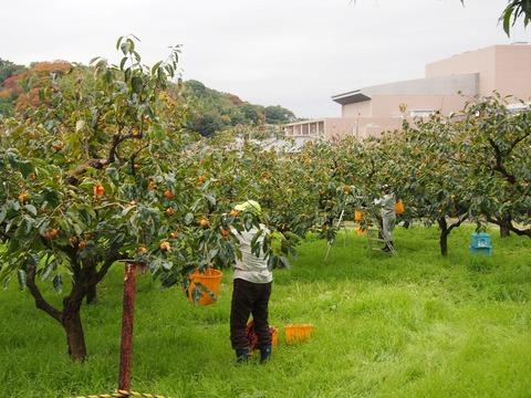 明日17日果樹公園富有柿の配布