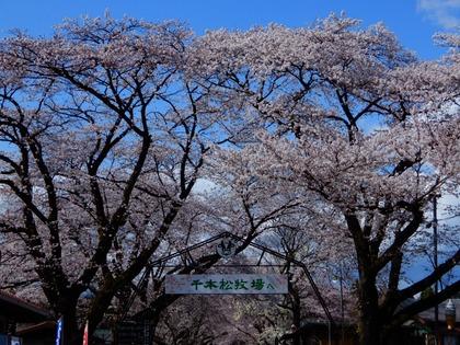 2021桜(千本松牧場)