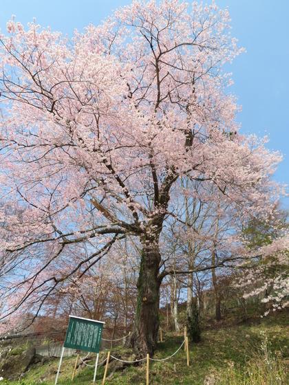 190419実美桜