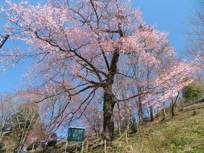190416実美桜 (3)