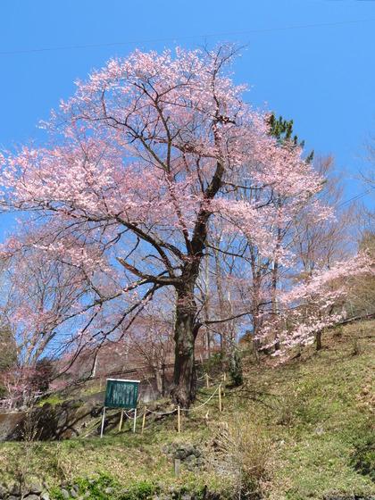 190416実美桜