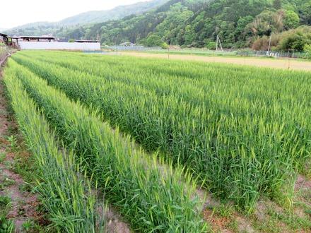 06 小麦-2